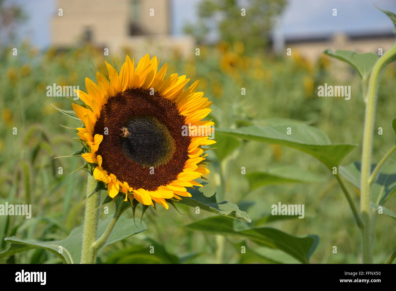 A bee attends to a sunflower in the fields behind the Garfield Park Conservatory on Chicago's near west side. - Stock Image