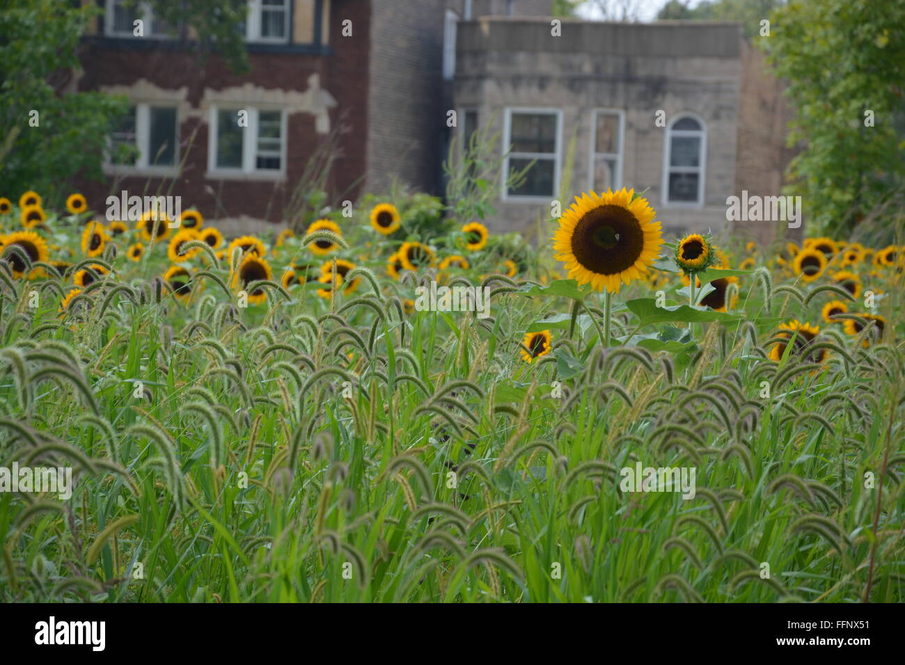 A field of sunflowers with homes in the background at the Garfield Park Conservatory on Chicago's near west - Stock Image