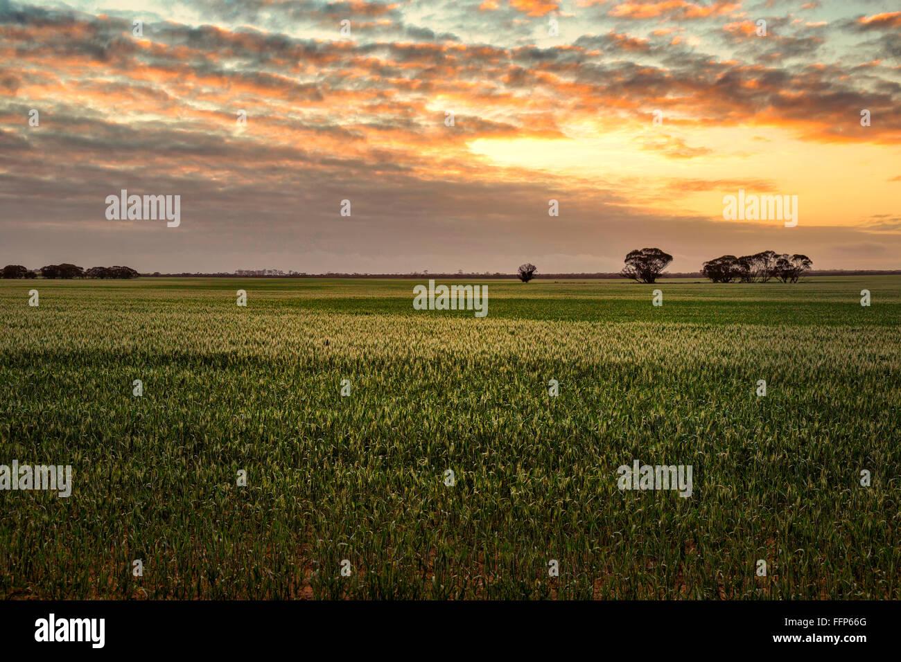 Dawn across a field of wheat, Western Australia - Stock Image