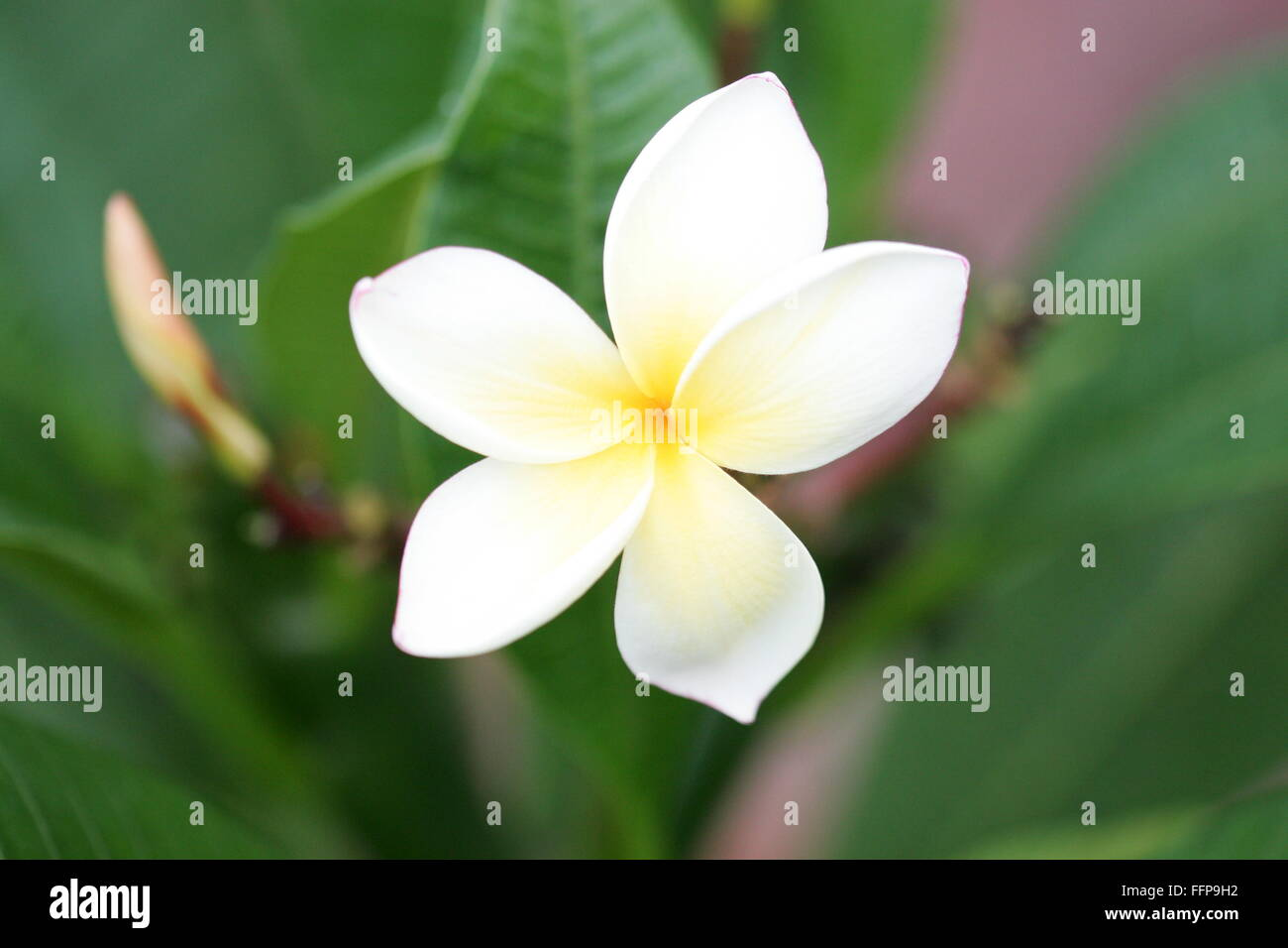 Ontario flower stock photos ontario flower stock images alamy plumeria flower stock image izmirmasajfo