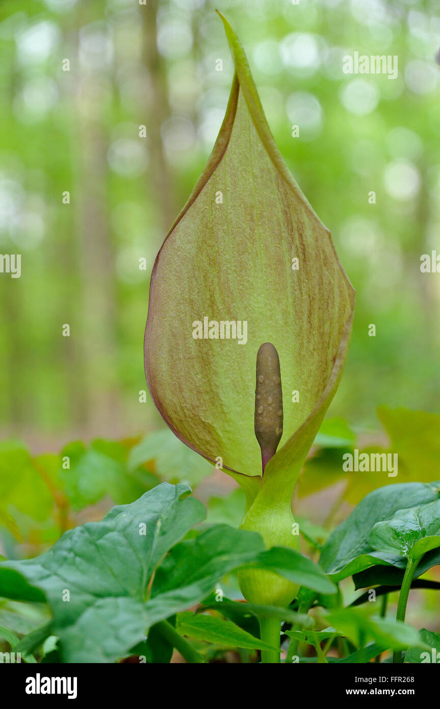 Arum maculatum (Arum maculatum) in deciduous forest, inflorescence, North Rhine-Westphalia, Germany - Stock Image