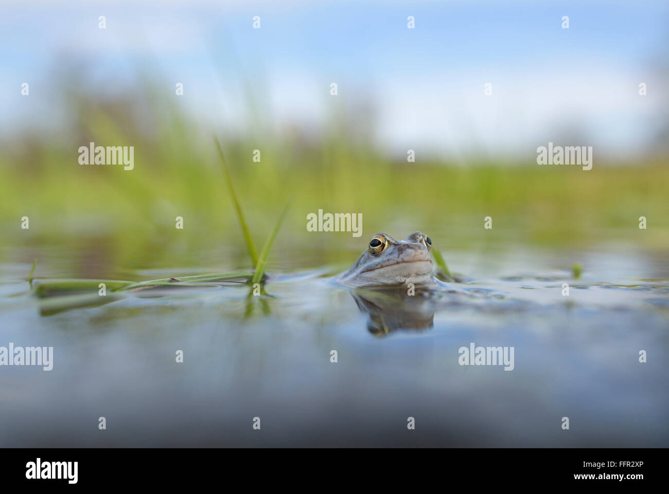 Moor frog (Rana arvalis), blue coloured male during mating season, in spawning waters, Elbe, Saxony-Anhalt, Germany - Stock Image