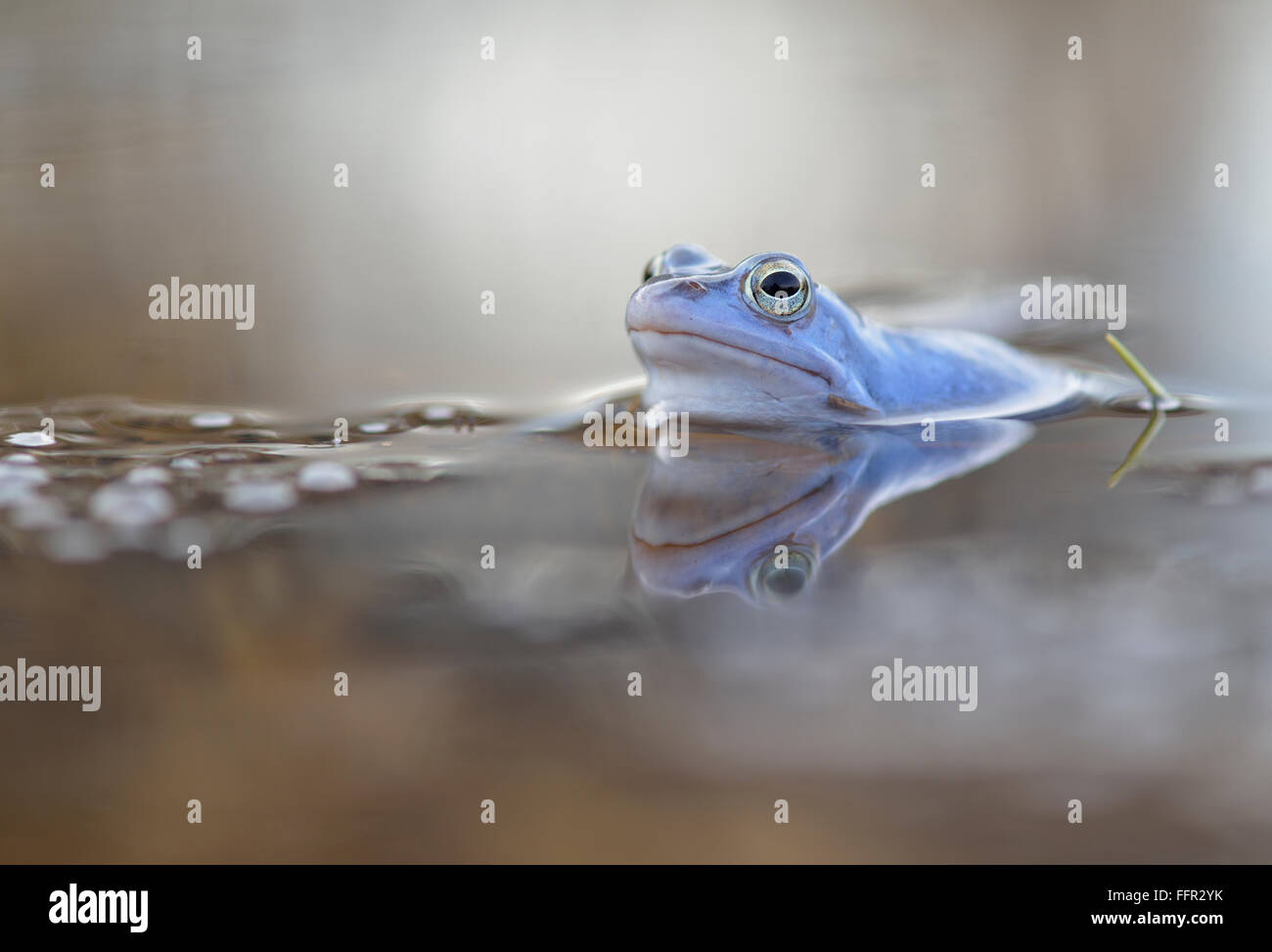 Moor frog (Rana arvalis), blue coloured male with spawn, during mating season, in spawning waters, Elbe, Saxony - Stock Image