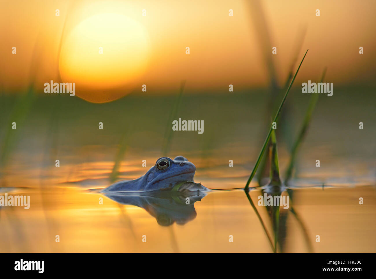 Moor frog (Rana arvalis), blue coloured male during mating season, in spawning waters, sunset, Elbe, Saxony-Anhalt, - Stock Image