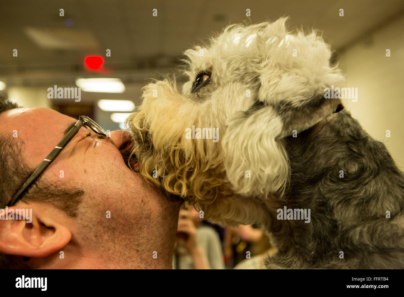 New York, USA. 16th February, 2016. Wesley, an affectionate Dandie Dinmont terrier, licks a visitor's face in the Stock Photo