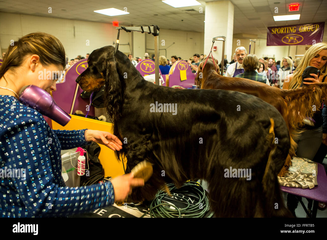New York, USA. 16th February, 2016. A woman with a hair dryer tucked onto her shoulder grooms her Gordon setter Stock Photo