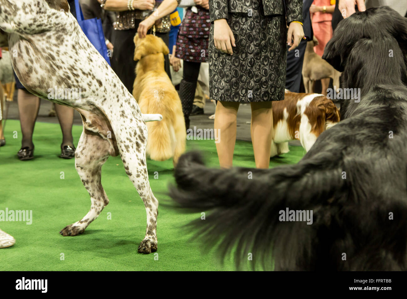 New York, USA. 16th February, 2016. Excited dogs wag their tails preparing to enter the ring  at the 140th Westminster - Stock Image