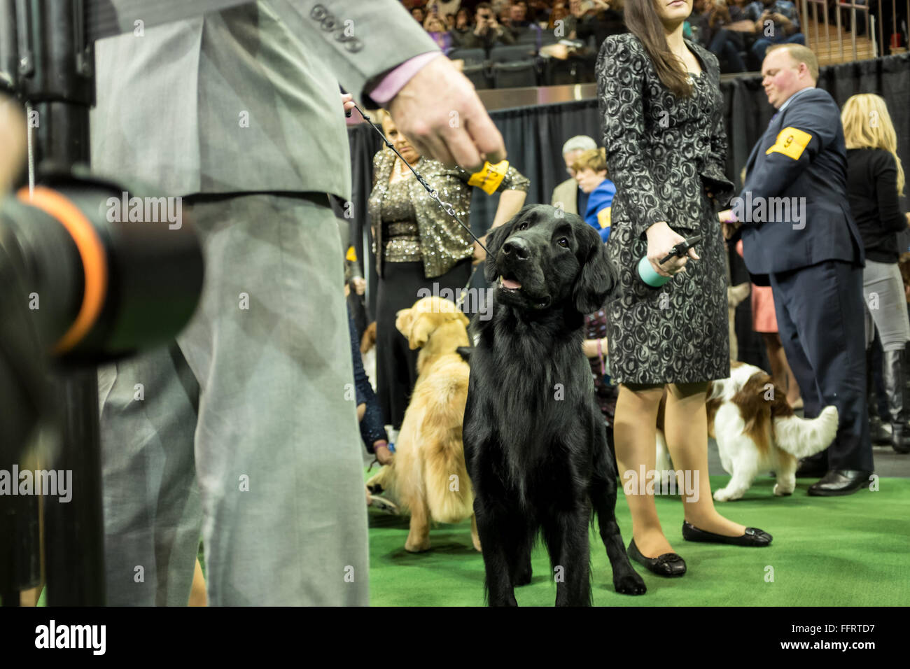 New York, USA. 16th February, 2016. A dog stares at a photographer's lens prior to entering the ring  at the 140th Stock Photo