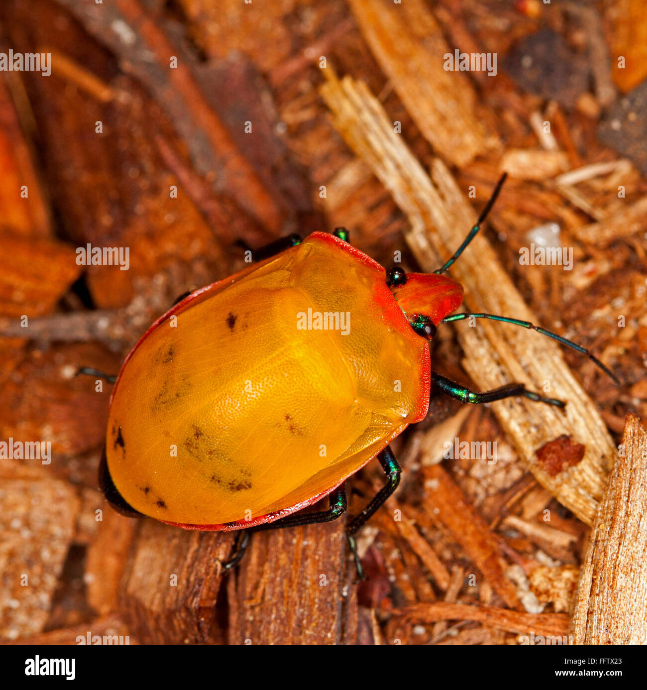 Spectacular vivid orange & red insect, harlequin / jewel bug, Tectocoris diophthalmus among decaying leaves - Stock Image