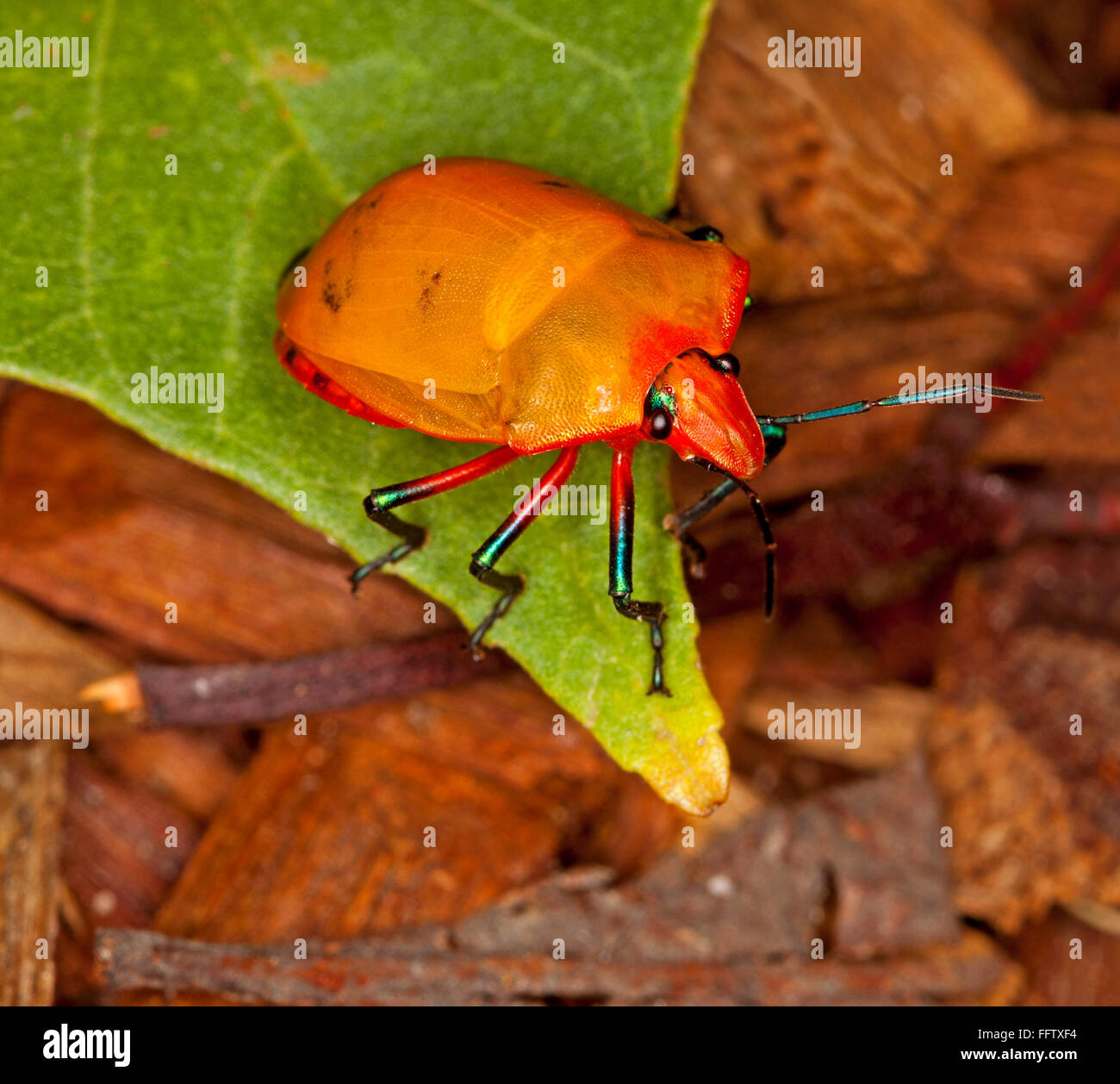 Spectacular vivid orange insect, harlequin / jewel bug, Tectocoris diophthalmus on emerald green hibiscus leaf in - Stock Image