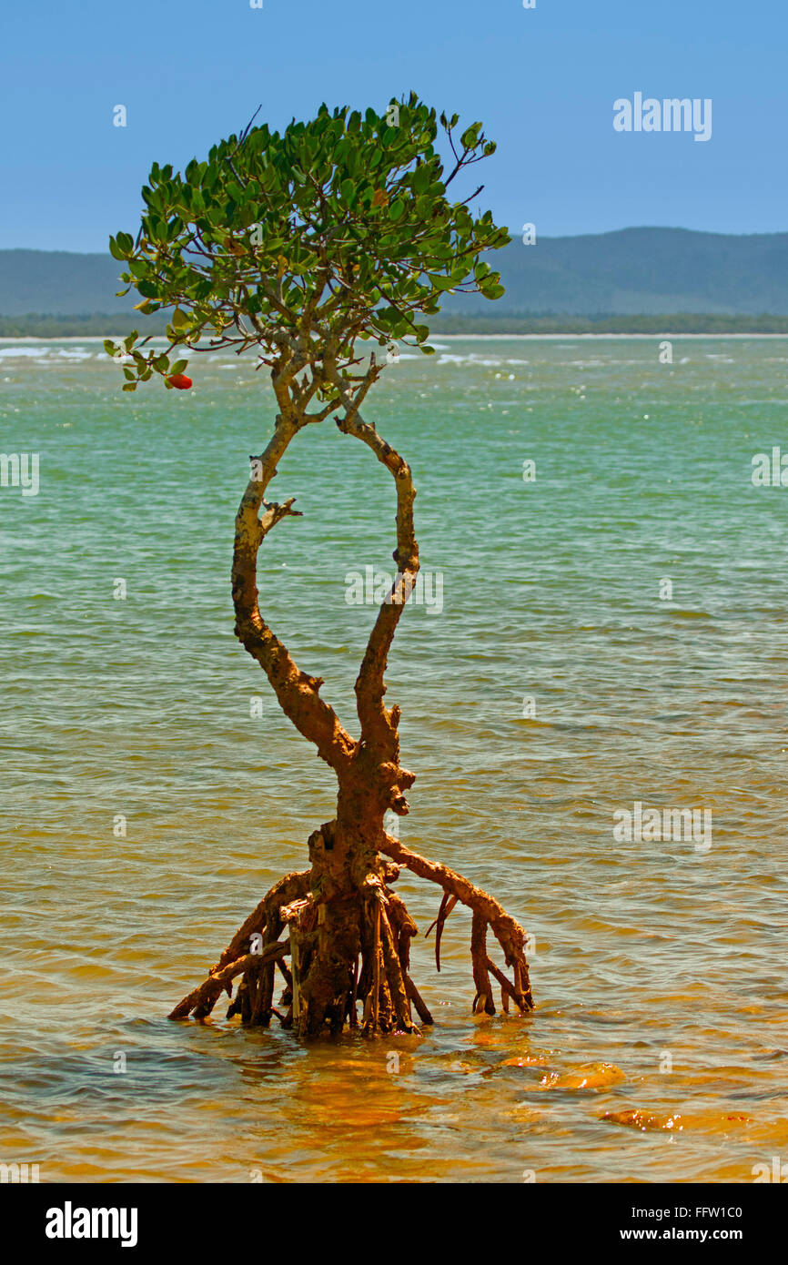 Solitary mangrove tree with aerial roots exposed growing in shallow blue water of river estuary on coast of Australia - Stock Image
