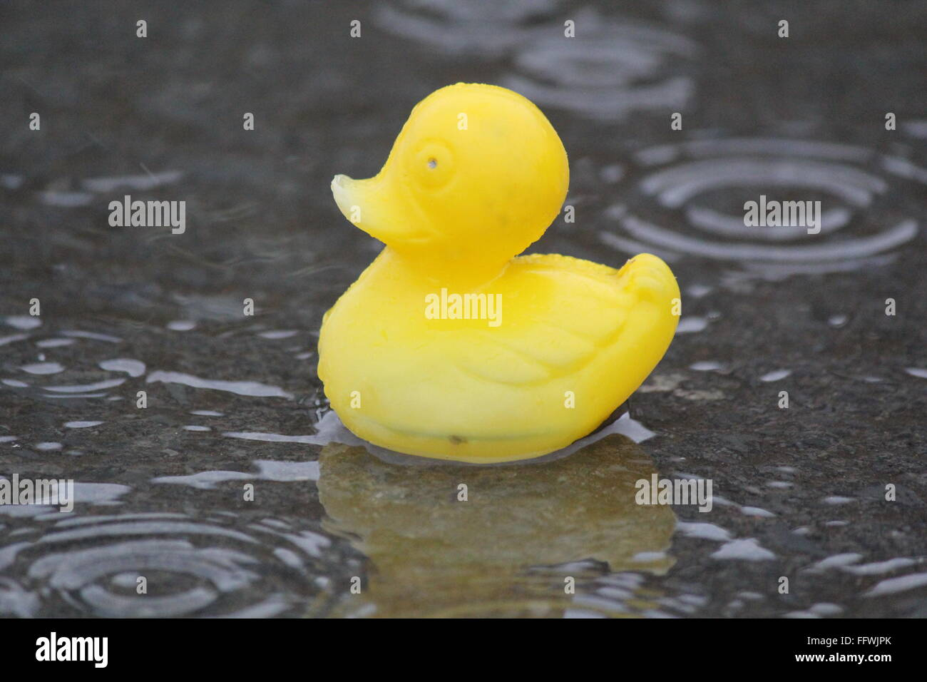 Weather for ducks, continued heavy rain sweeps across the UK from the west bringing more worries of flooding and - Stock Image