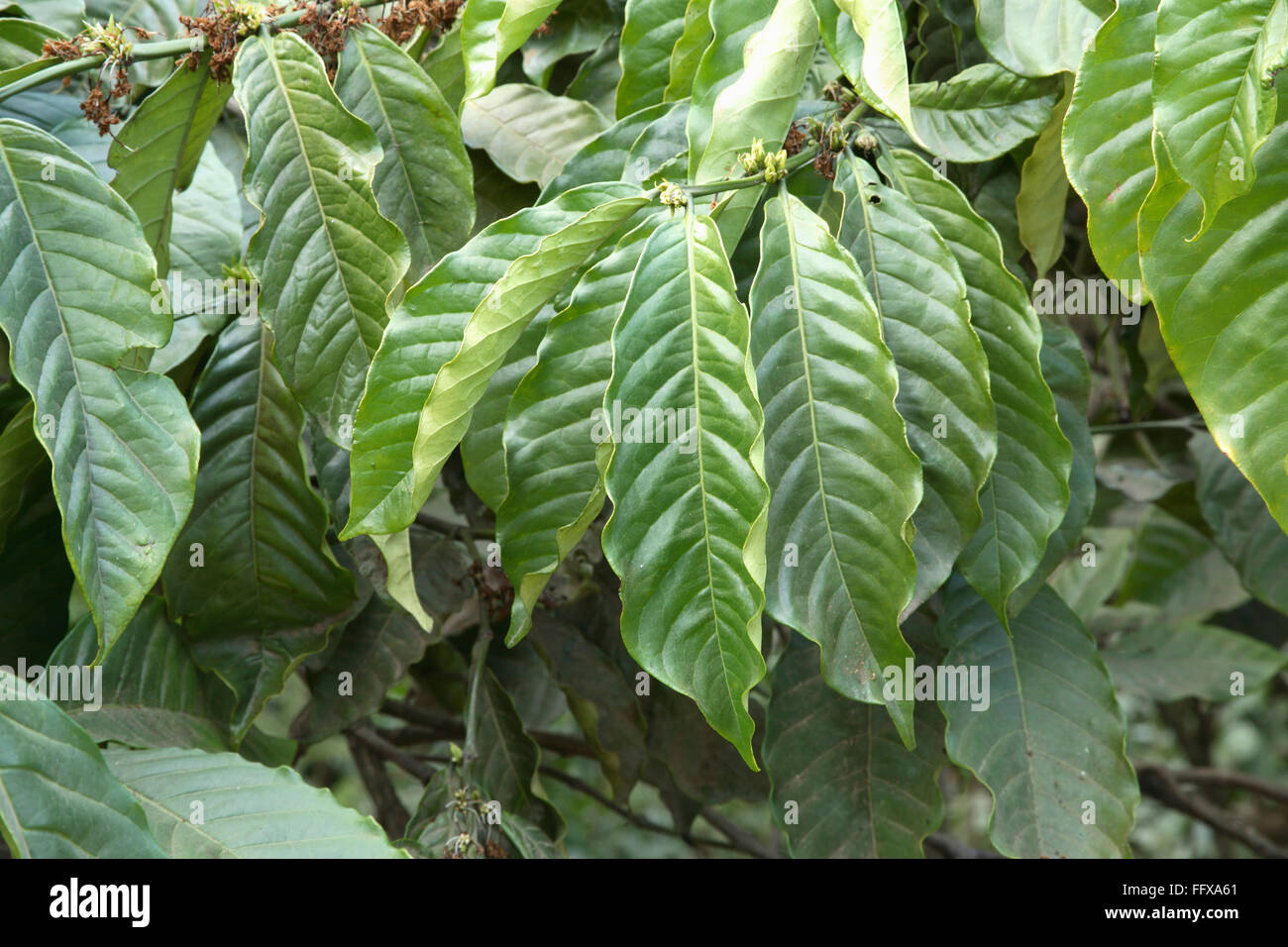 leaves of coffee plant botanical name coffee arabica kerala india stock photo 95850441 alamy. Black Bedroom Furniture Sets. Home Design Ideas