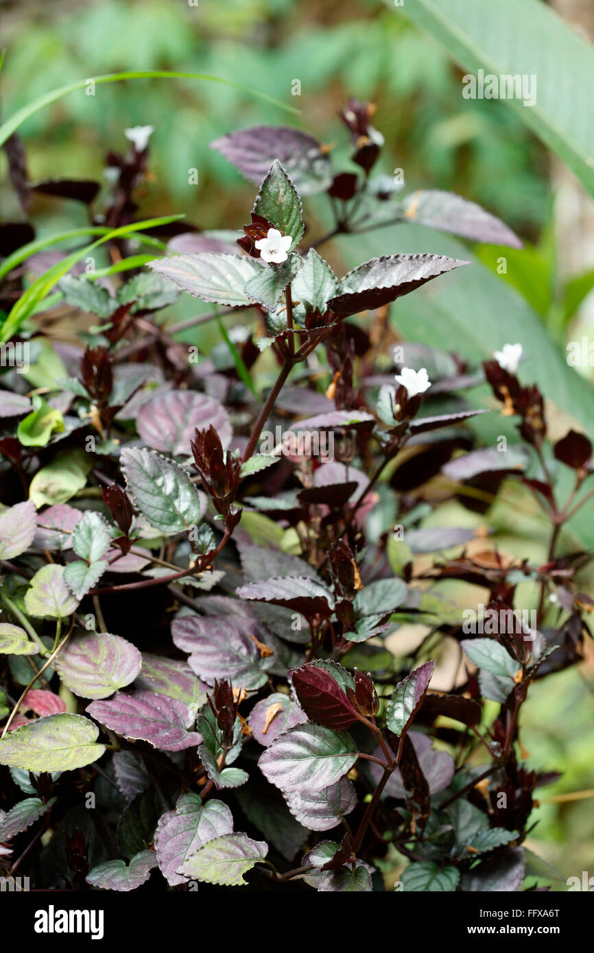 Ayurvedic Medicine Plant High Resolution Stock Photography And Images Alamy
