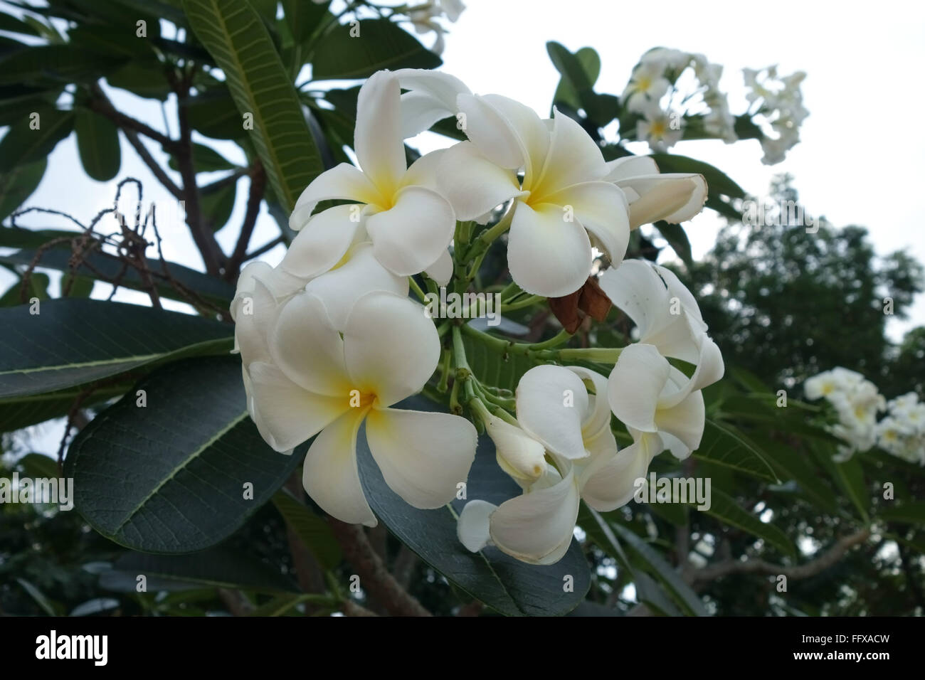 Frangipani tree flower stock photos frangipani tree flower stock white flowers on a frangipani tree plumeria sp an ornamental tropical plant mightylinksfo