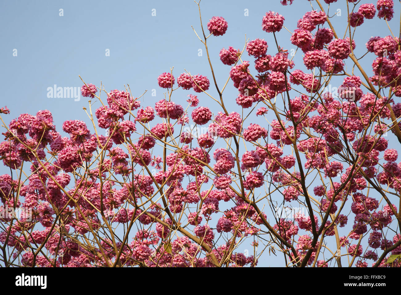 Tree Full Of Flowers Beautiful Pink Trumpet Shaped Blossoms Latin