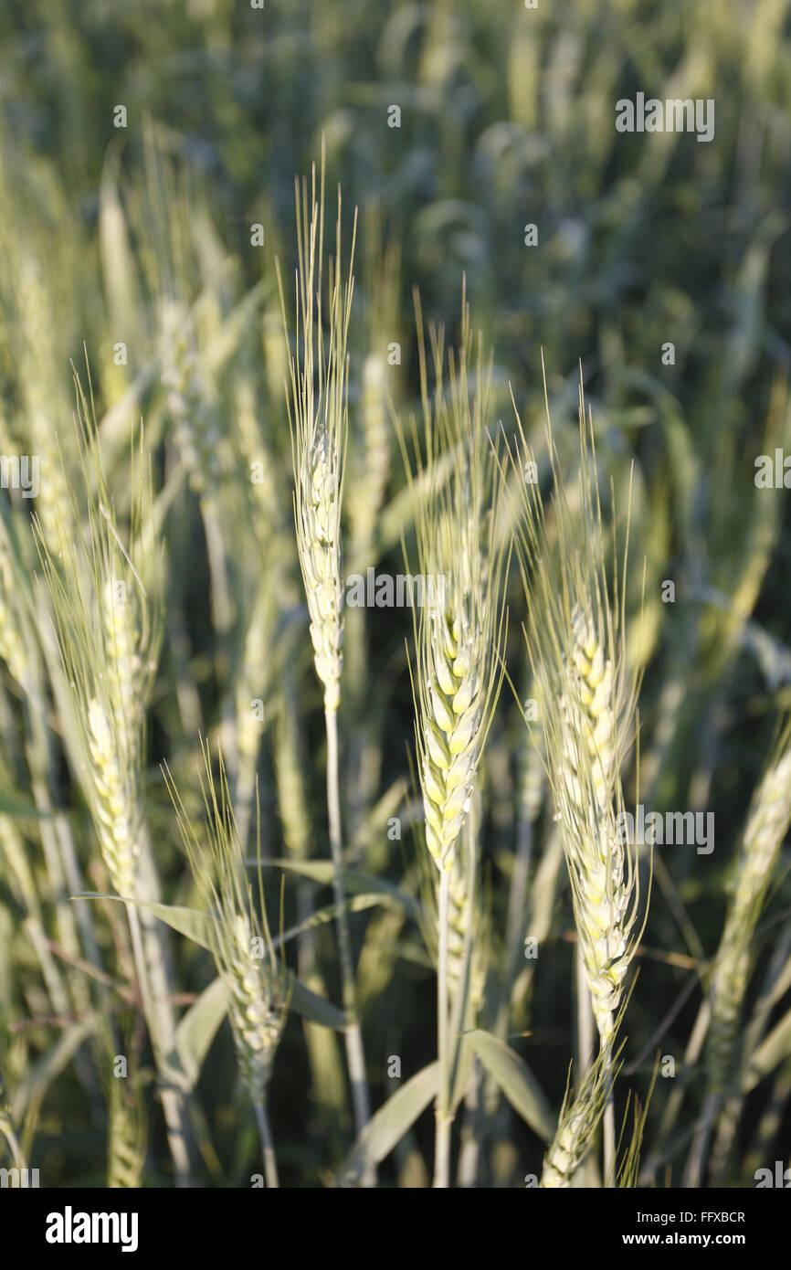 Grain , crop of wheat Gehun Triticum aestivum in field , Maharashtra , India Stock Photo