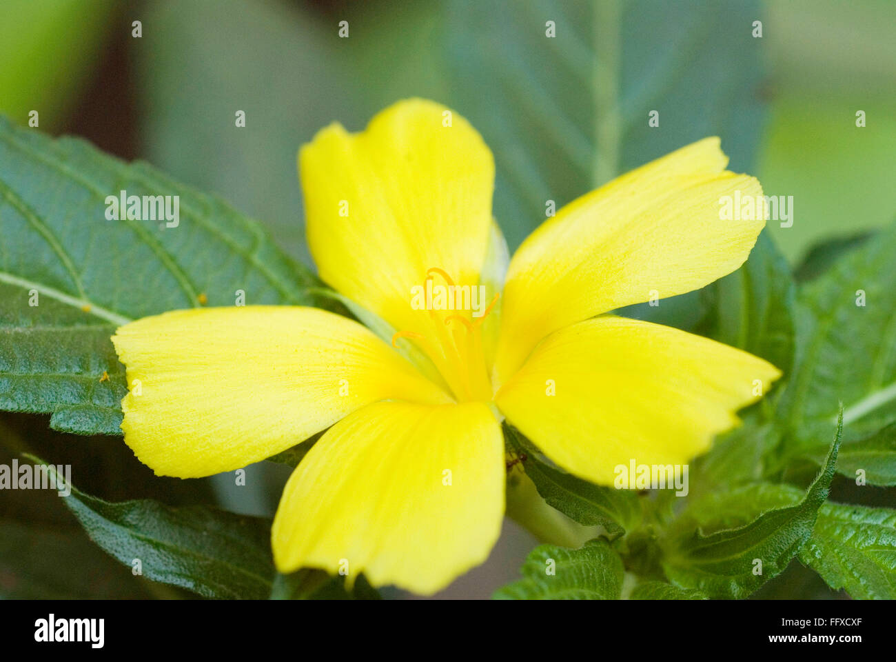 Turnera ulmifolia yellow alder sage rose cuban buttercups five turnera ulmifolia yellow alder sage rose cuban buttercups five petals mightylinksfo
