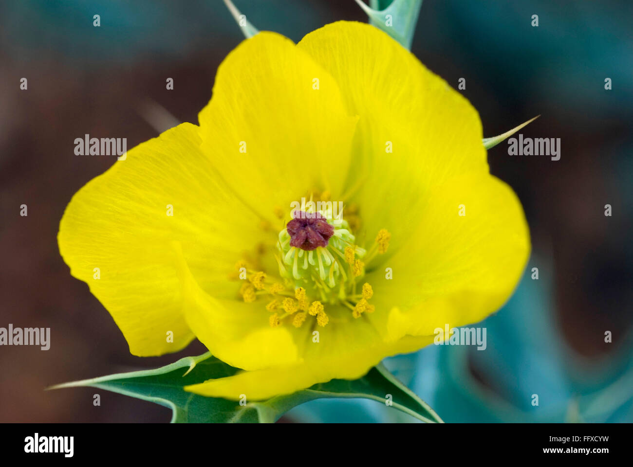Argemone mexicana mexican prickle poppy yellow flower single - Stock Image