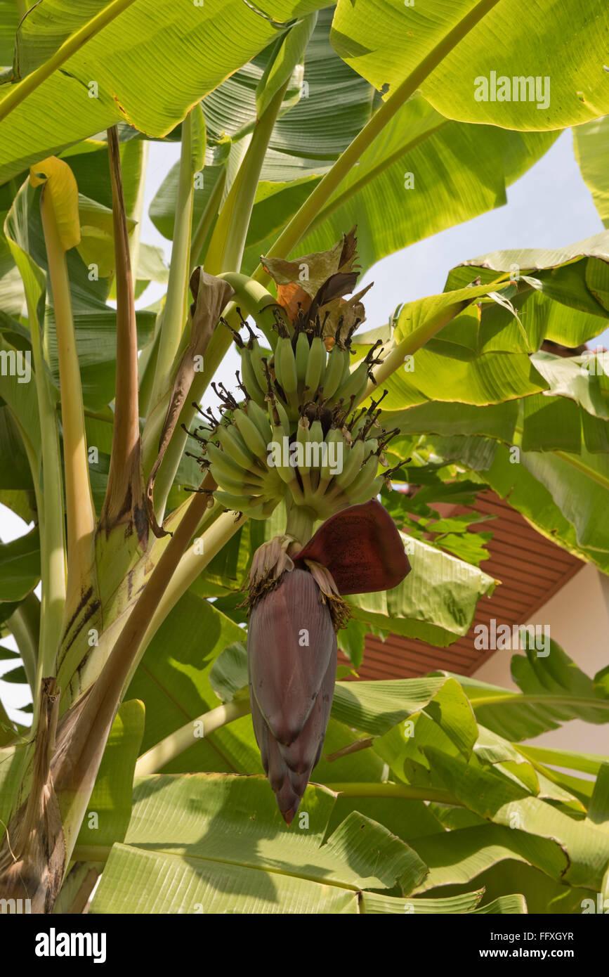 Lady-finger or sugar bananas, Musa acuminata, green fruits and male flower on the plant, Bangkok, Thailand - Stock Image