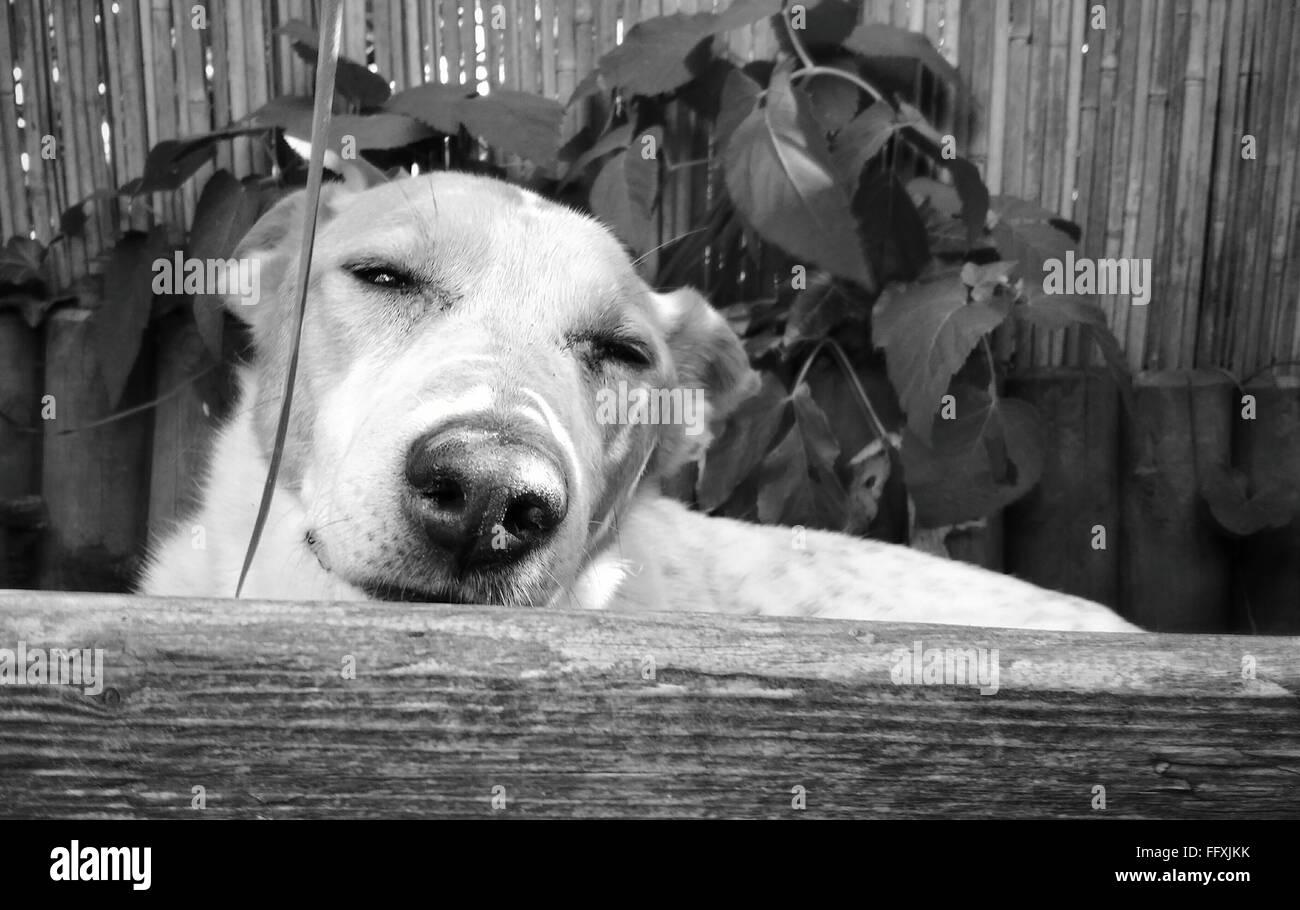 Close-Up Of Dog Peeking From Fence - Stock Image