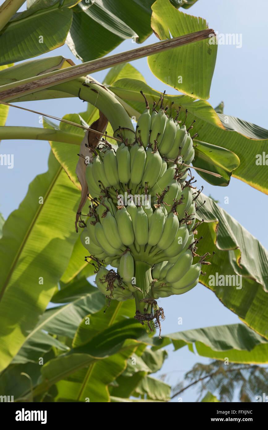 Lady-finger or sugar bananas, Musa acuminata, green fruits on the plant, Bangkok, Thailand - Stock Image