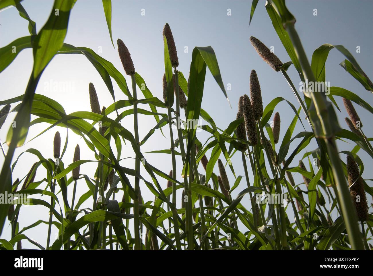 Pearl millet pennisetum glaucum field in Dimba village , District Pune , Maharashtra , India - Stock Image
