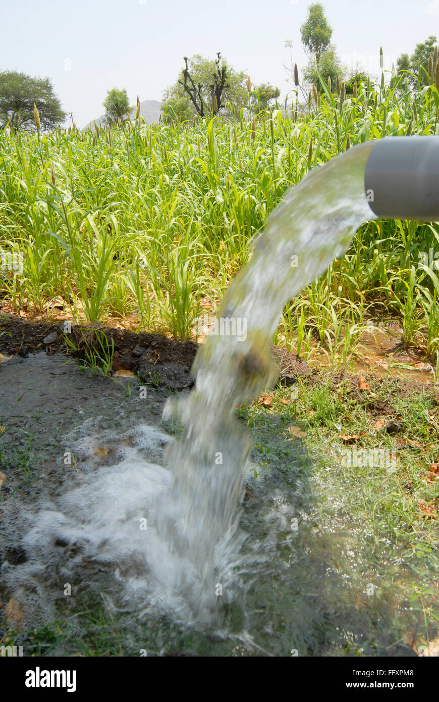 Bajra crop being grown with irrigated water pumped at Dimba village , District Pune , Maharashtra , India - Stock Image