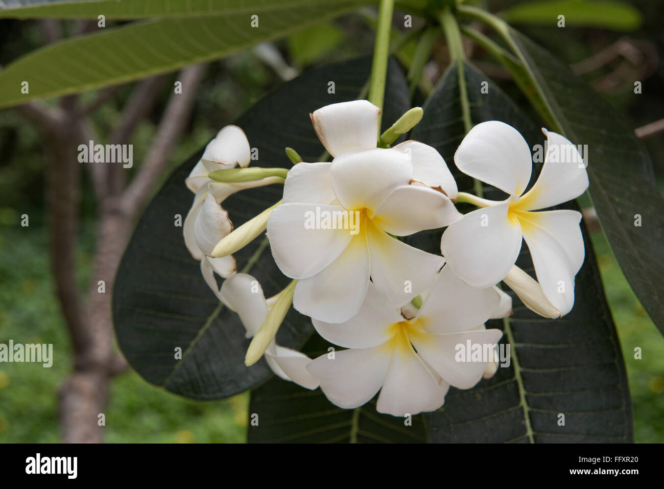 White flowers on a frangipani tree, Plumeria sp., an ornamental tropical plant, Bangkok, Thailand Stock Photo
