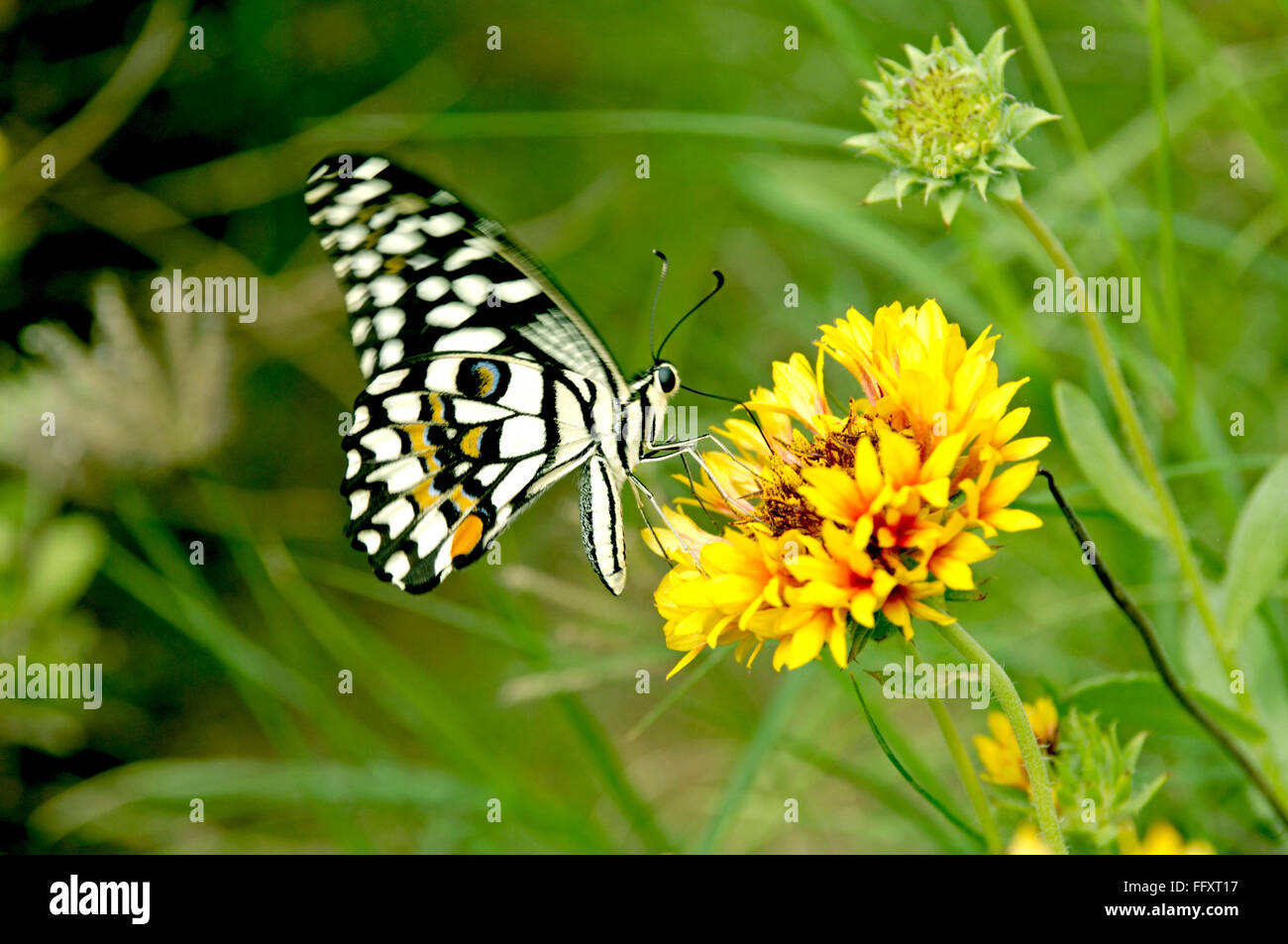 Insects  , Butterfly on Marigold Flowers at Jodhpur , Rajasthan , India - Stock Image