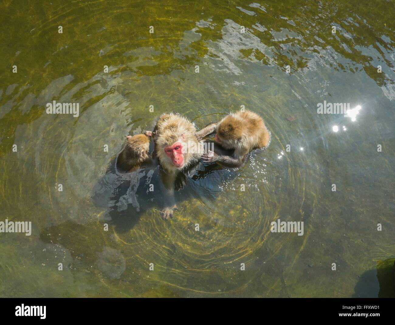 High Angle View Of Monkeys In Water - Stock Image