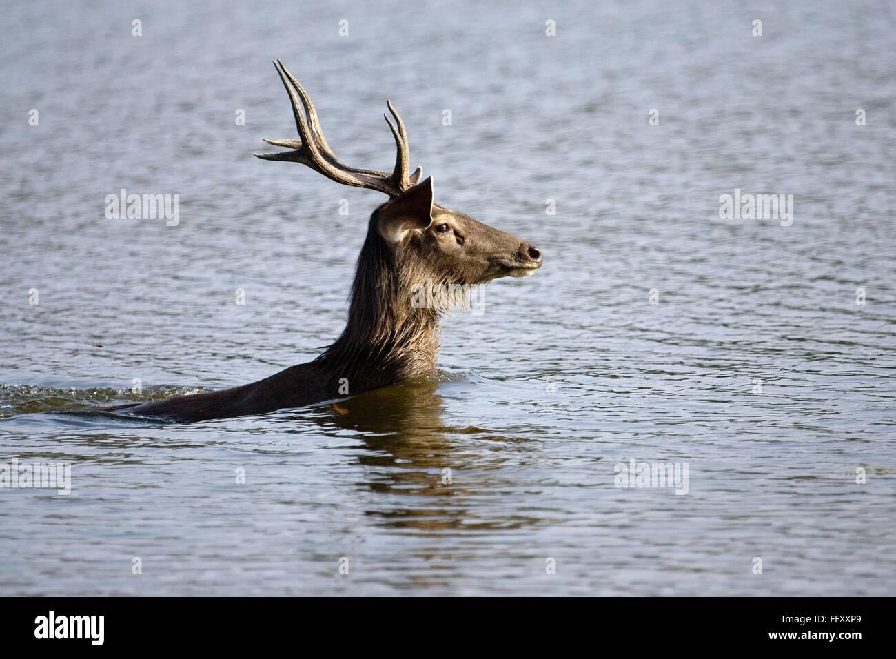 Sambar deer stag Cervus unicolor swimming in water , Ranthambore tiger reserve , Rajasthan , India - Stock Image