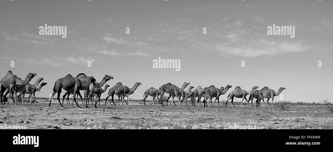 Herd of Camels , Kutch , Gujarat , India - Stock Image