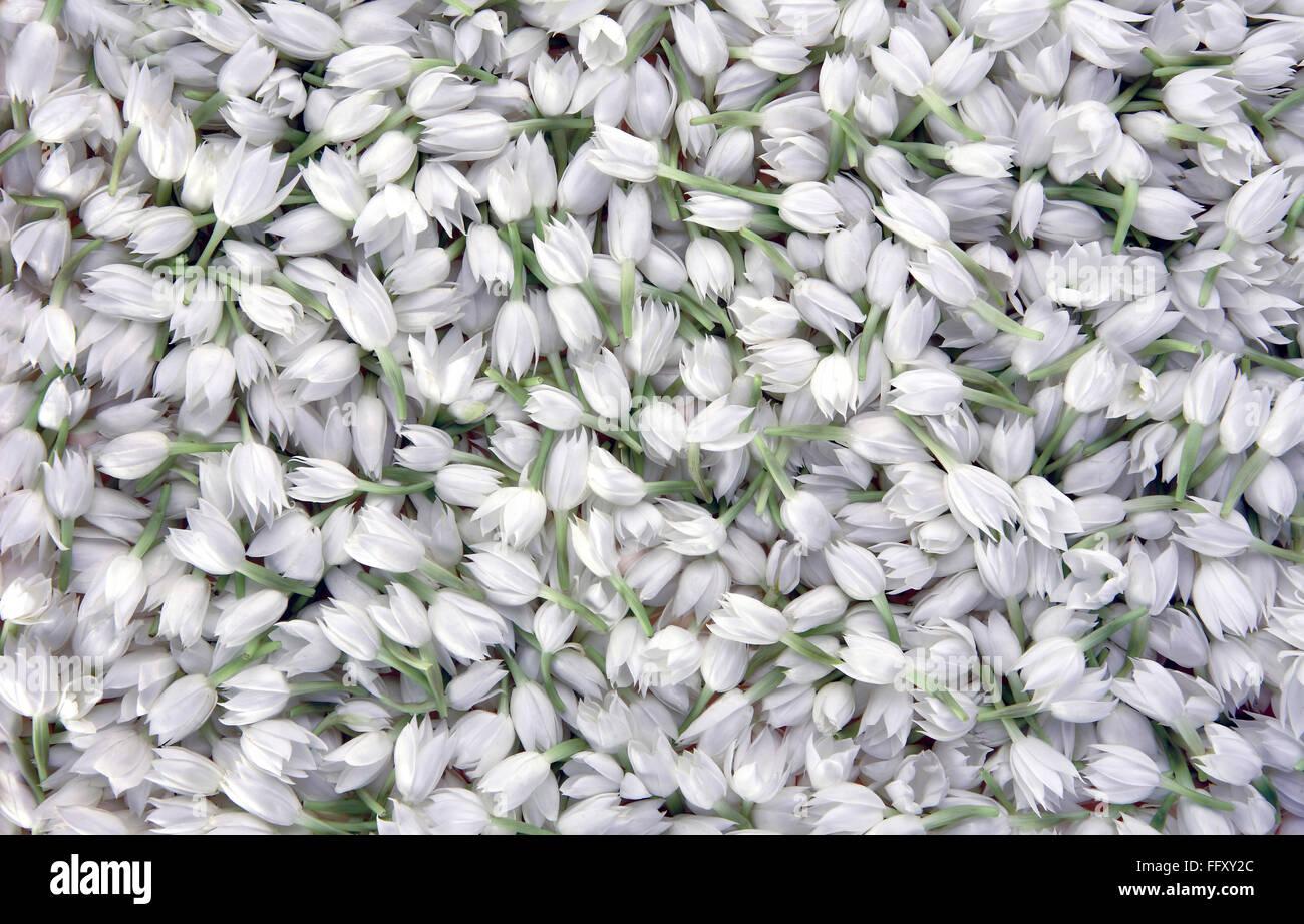 white mogra stock photos white mogra stock images alamy