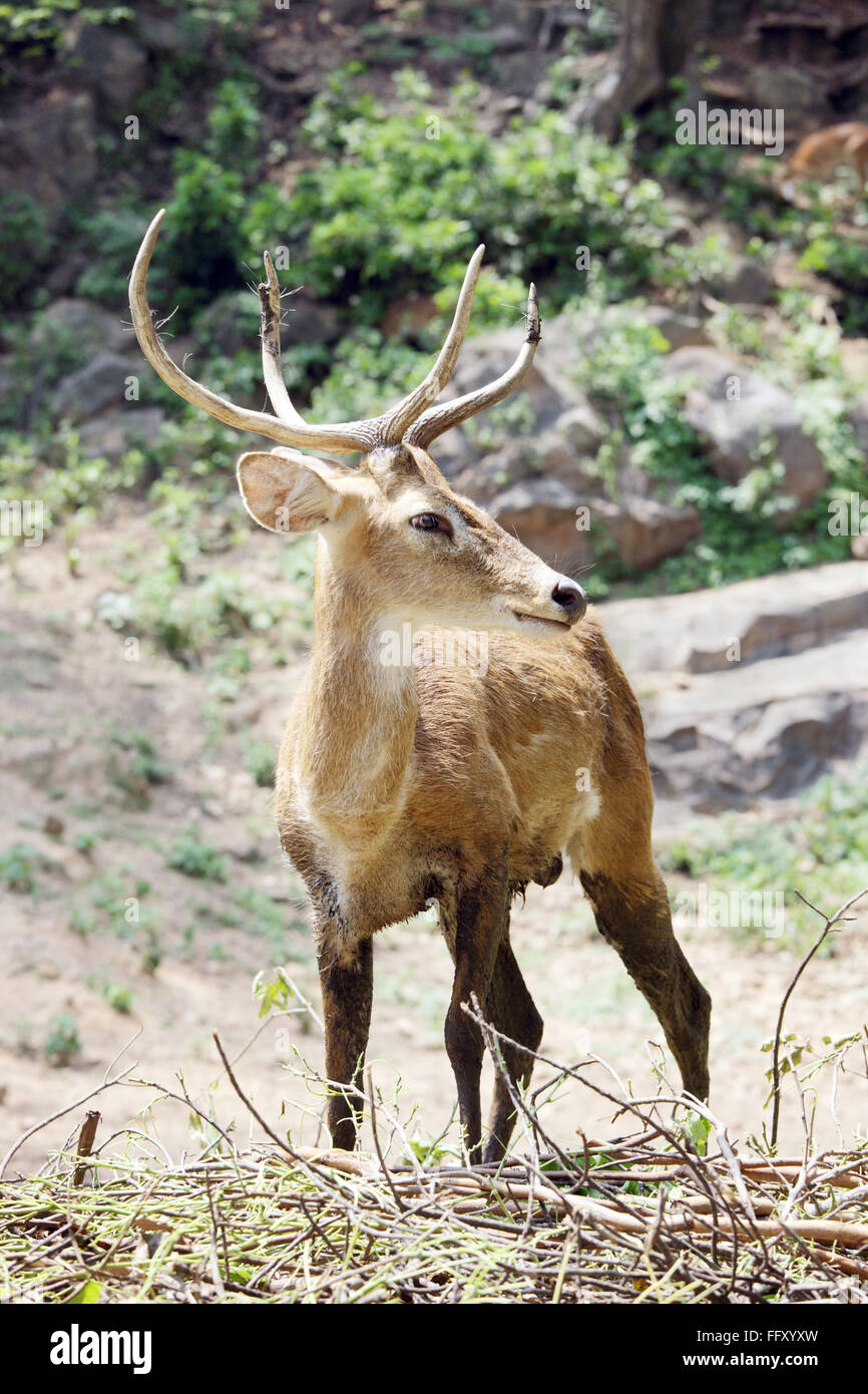 Brow Antler Deer Eld's Deer Cervus Eldi in background in Guwahati zoo , Assam , India - Stock Image