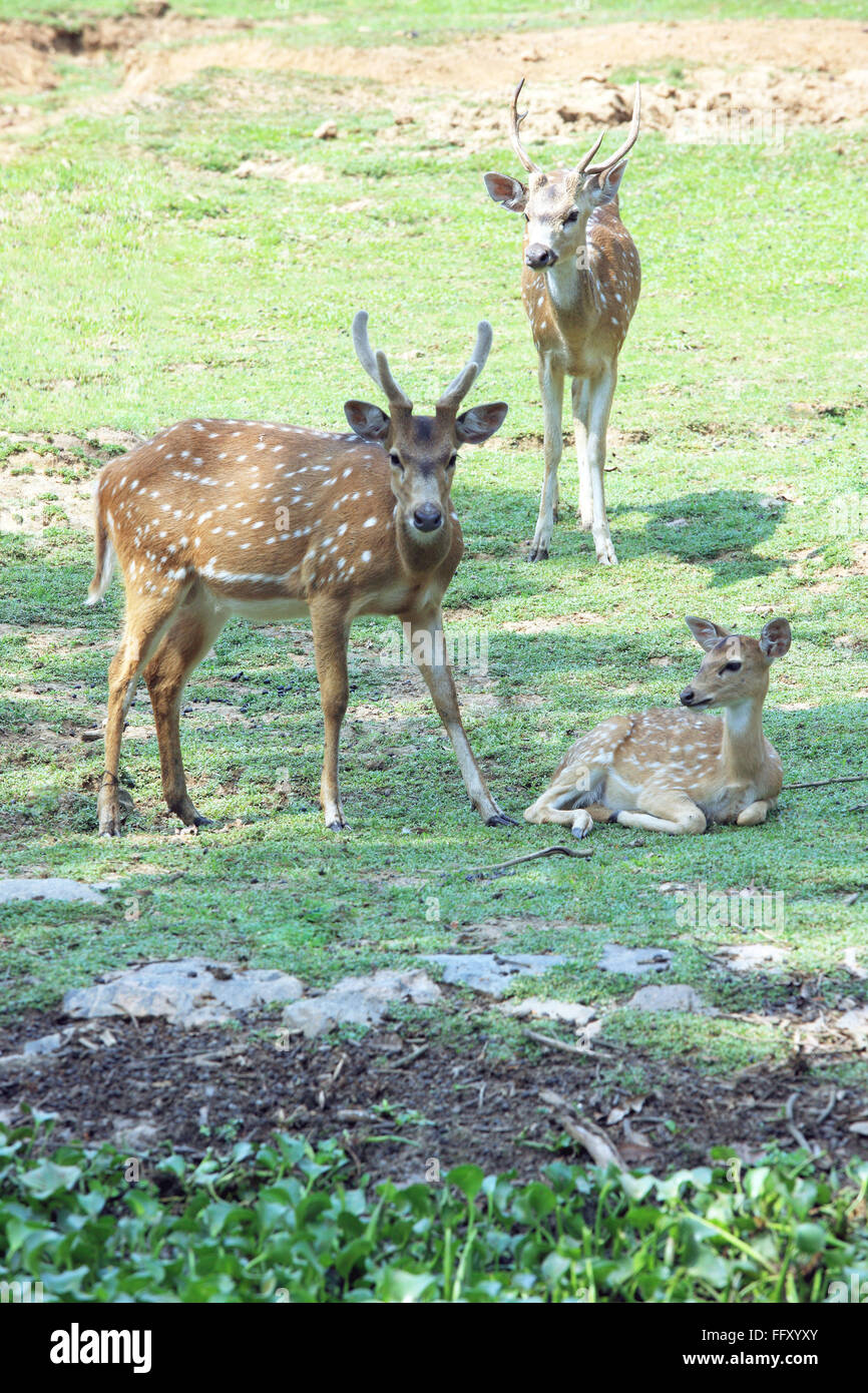 Chital or spotted deer and fawn Axis axis in Guwahati zoo , Assam , India - Stock Image
