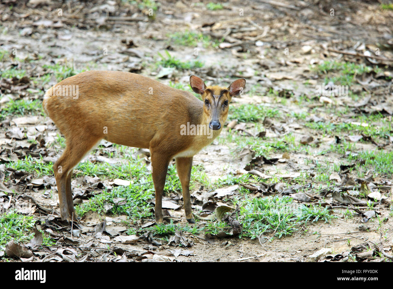 Indian Muntjak called barking deer Muntiacus Muntjak in Guwahati zoo , Assam , India - Stock Image