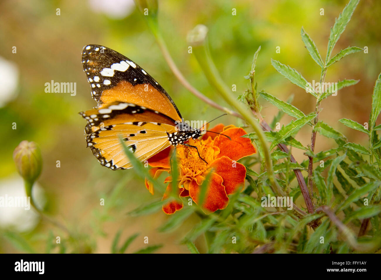 Insect , Plain Tiger Danaus chrysippus butterfly sucking nectar from flower - Stock Image