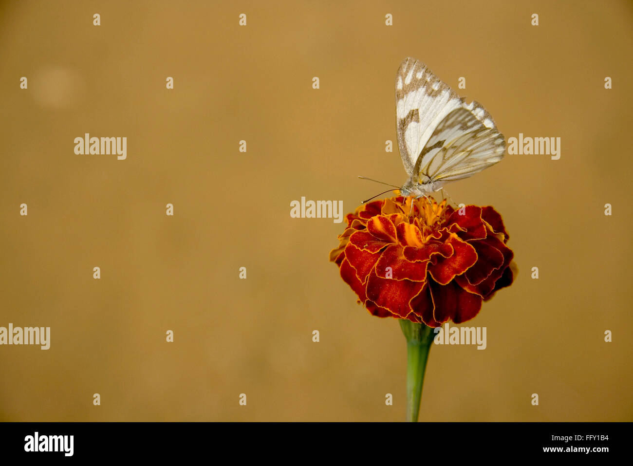 Insect , Butterfly sucking nectar from flower - Stock Image