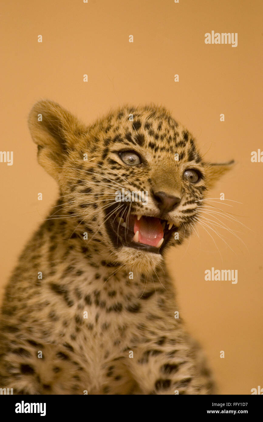 Big cat baby or young Leopard cub Panthera pardus snarling , Ranthambore National Park , Rajasthan , India - Stock Image