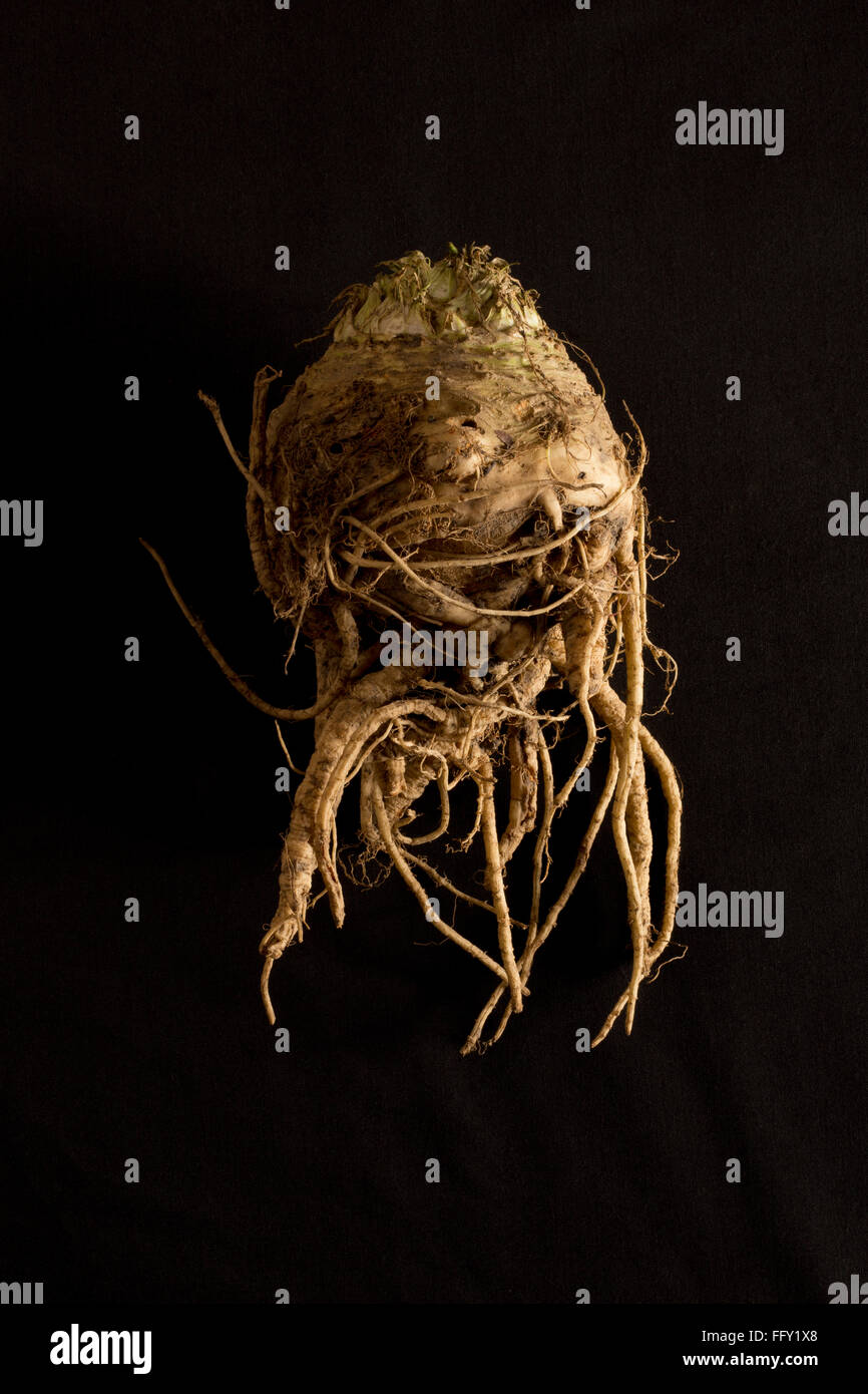 Celeriac that is wonky, misshape or ugly veg for the reducing food waste movement - Stock Image