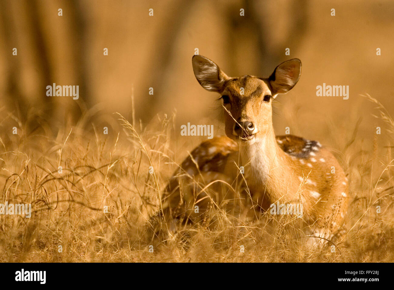 Chital or Spotted Deer Axis  in Ranthambore National Park , Rajasthan , India - Stock Image