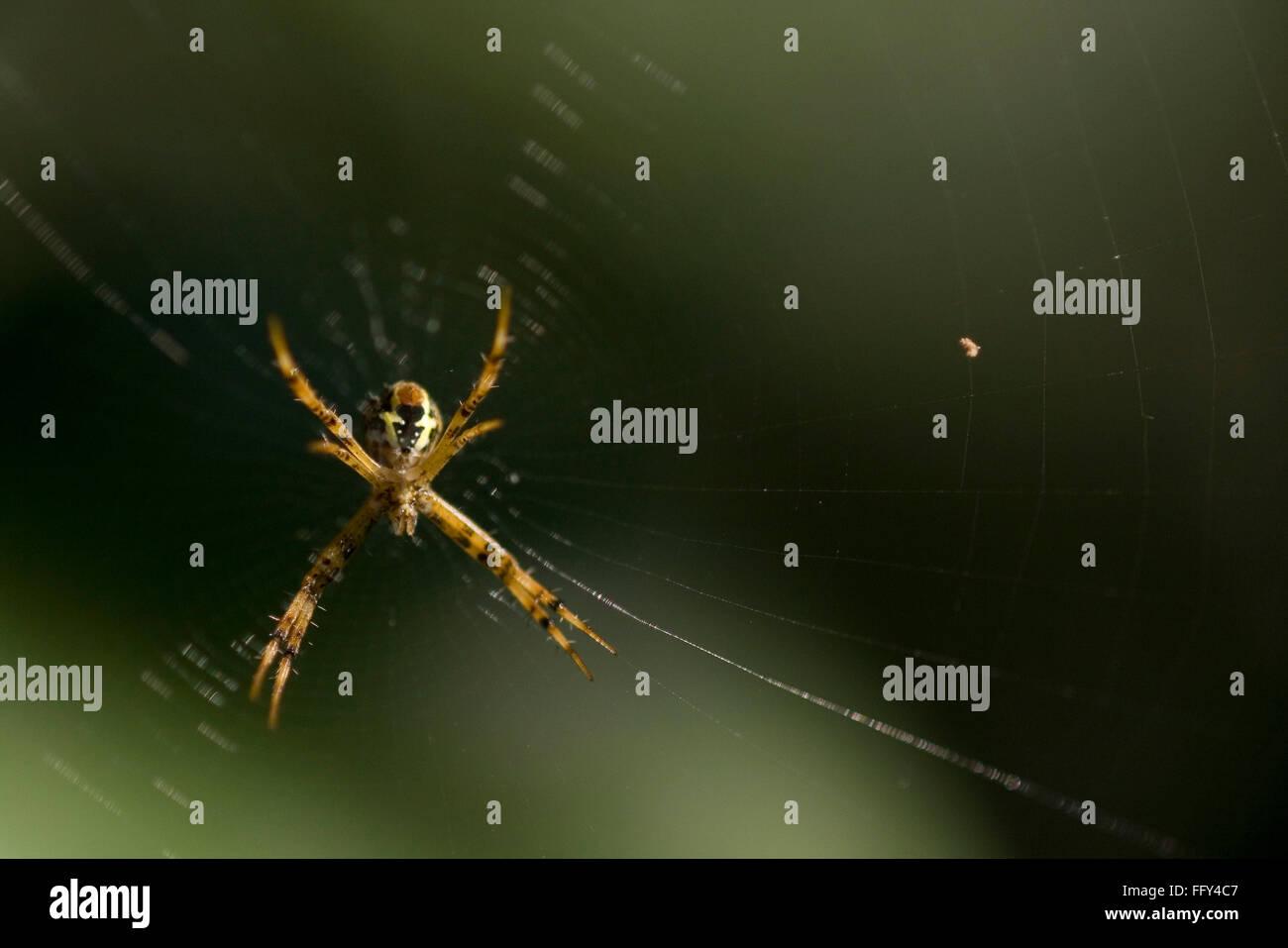 Spider in orb web , Dudhwa National Park , Uttar Pradesh , India - Stock Image