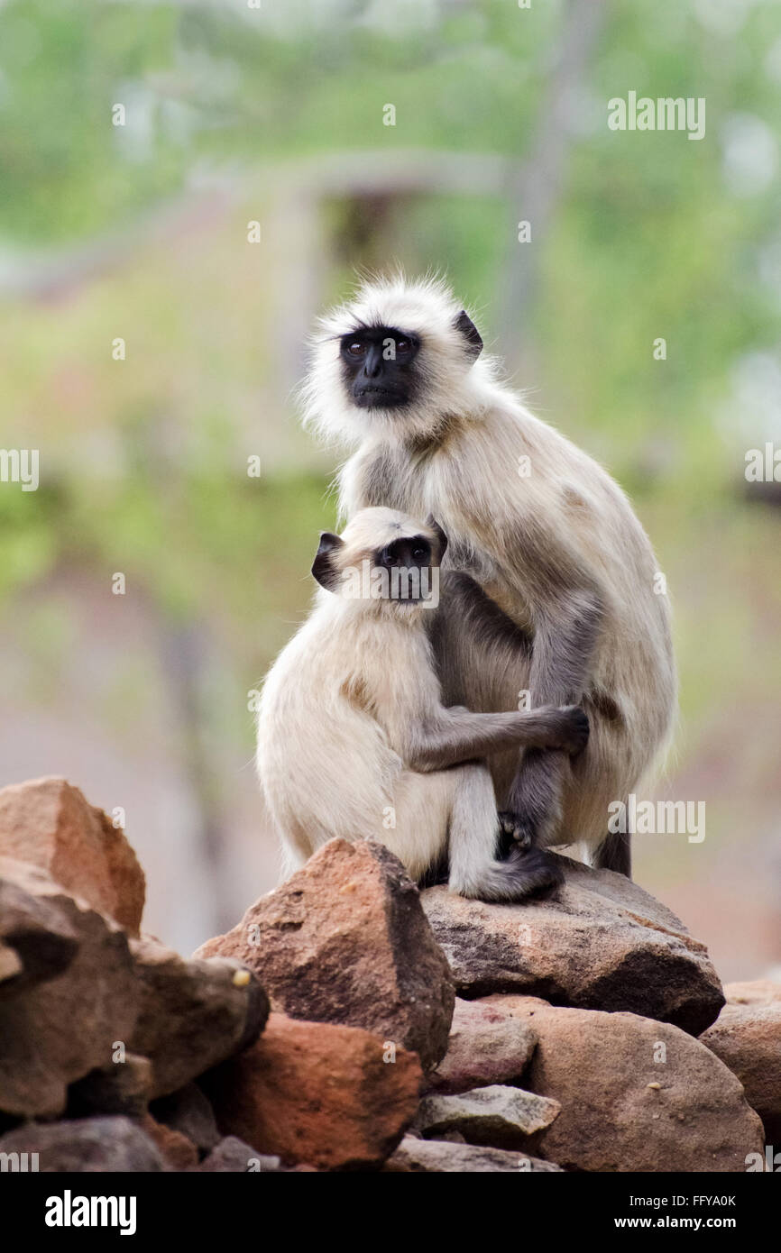 gray langur at bandhavgarh national park madhya pradesh india - Stock Image