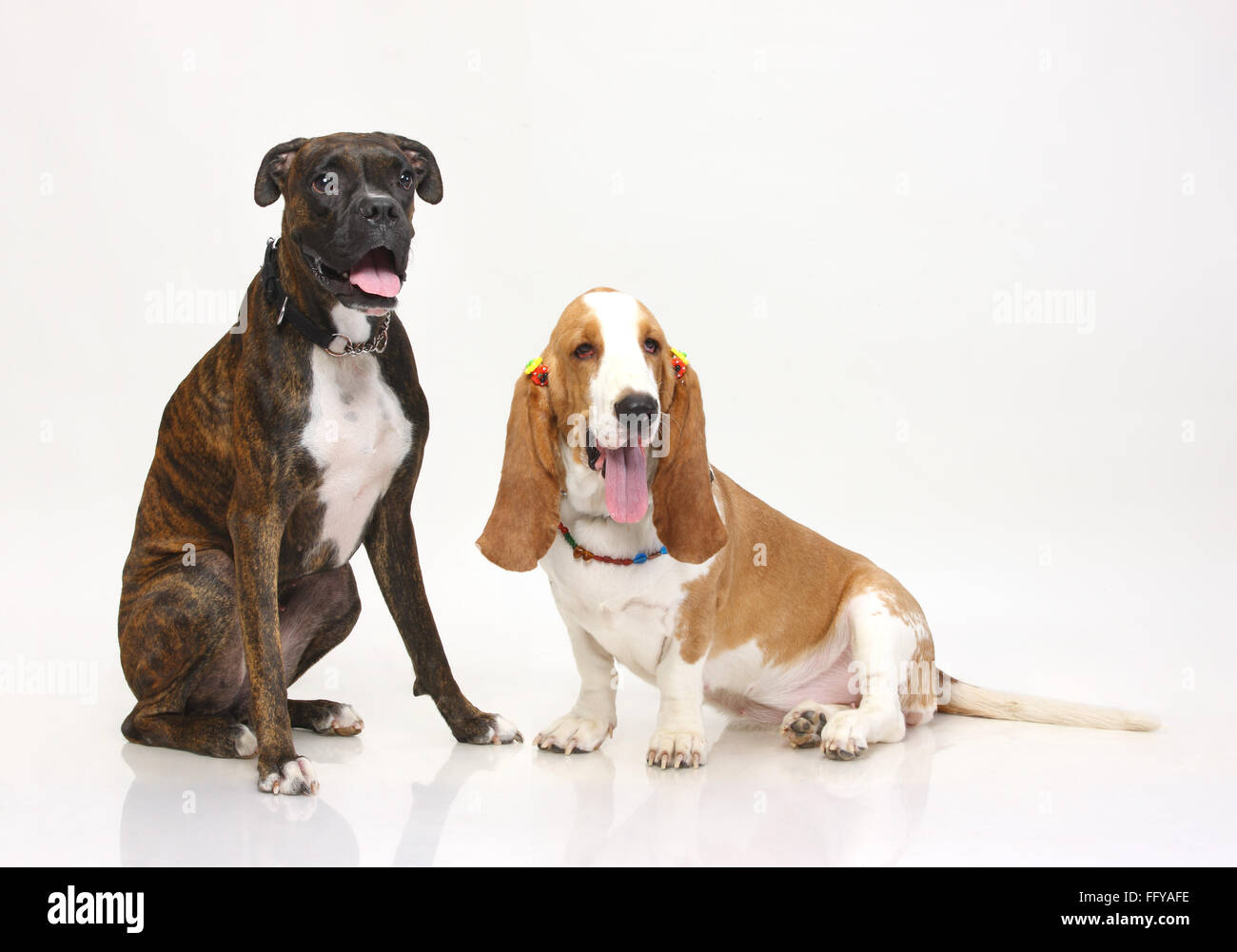 Brindle Boxer Dogs Stock Photos & Brindle Boxer Dogs Stock Images