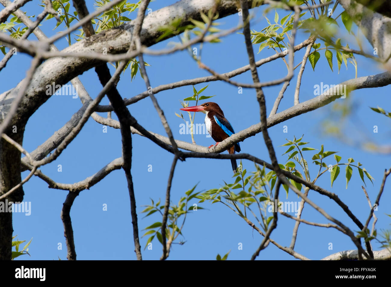 white breasted kingfisher on tree bandhavgarh national park madhya pradesh India - Stock Image