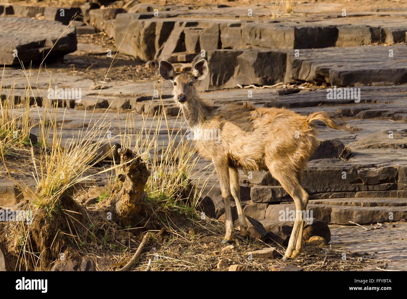 Sambar deer on rocky terrain of Panna National Park madhya pradesh India - Stock Image