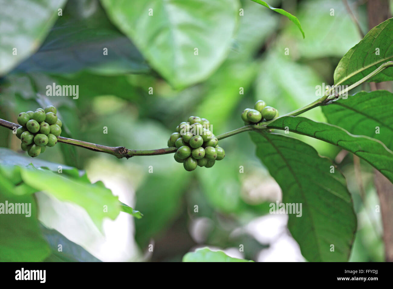 Coffee plant arabica ; Thekkady Thekkadi ; Dist Idukki ; Kerala ; India - Stock Image