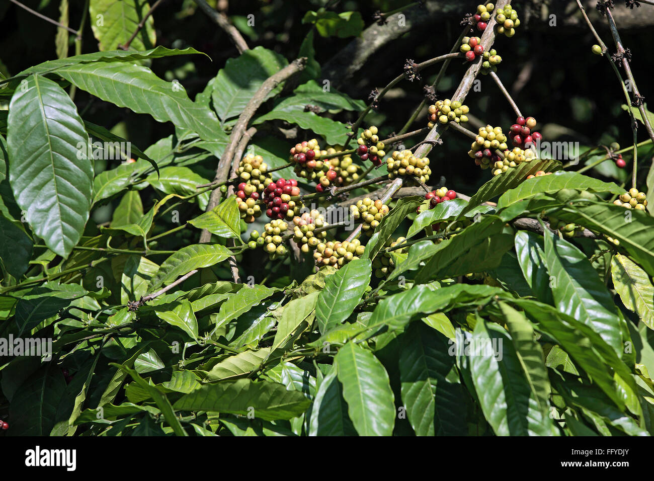 Coffee plant with berries arabica ; Thekkady Thekkadi ; District Idukki ; Kerala ; India Stock Photo