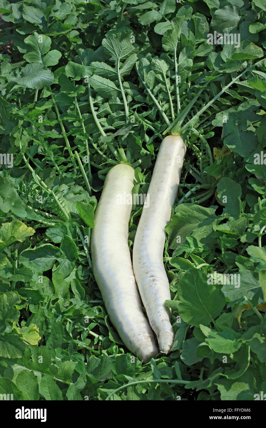 Green vegetable white radish raphanus sativus growing in field Stock Photo